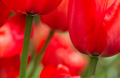 Tulip Art (Mukumbura) Tags: flowers red england abstract macro green art crimson scarlet garden spring focus dof tulips bright artistic deep vivid cups underside tulip stems bulbs colourful tulpen