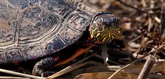 Midland Painted Turtle (ChefMike13) Tags: turtle painted wildlife shell amphibian midland uxbridge ewentrail