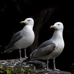 Look! (Steve-h) Tags: park ireland red dublin orange seagulls white black green tourism nature look birds yellow rock square grey gulls ivy tourists handheld recreation poo visitors staring citycentre guano herringgulls spotmetering ststephensgreen recreational unison steveh canonef100400mmf4556lisusm iso1000 specanimal canoneos5dmkii canoneos5dmk2 bestcapturesaoi birdperfect elitegalleryaoi mygearandme mygearandmepremium mygearandmebronze mygearandmesilver mygearandmegold mygearandmeplatinum mygearandmediamond ringexcellence rememberthatmoment rememberthatmomentlevel4 rememberthatmomentlevel1 rememberthatmomentlevel2 rememberthatmomentlevel3 rememberthatmomentlevel7 rememberthatmomentlevel9 rememberthatmomentlevel5 rememberthatmomentlevel6 rememberthatmomentlevel8