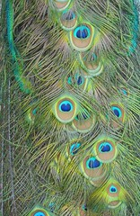 Peacock Tail (dadadreams (Michelle Lanter)) Tags: peacock peacocktail