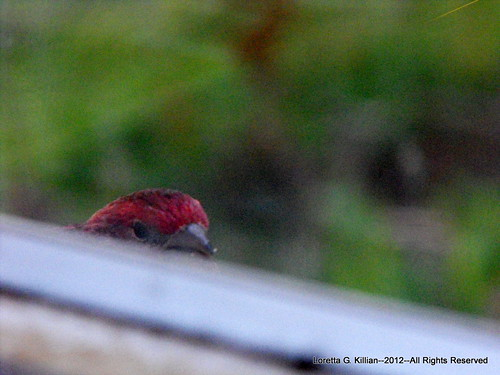 Shy House Finch