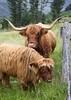 Highland Cow & Calf 002 (DMT@YLOR) Tags: autofocus wow1 mygearandme