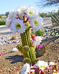 White Torch Cactus (wplynn) Tags: flowers arizona cactus white flower green garden whiteflower blossom blossoms large torch valley bloom blooms echinopsis spachiana tallcactus caminodelsol caminodelpato