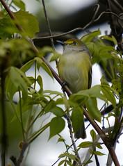 White-eyed vireo (lanaganpm) Tags: vireo whiteeyed