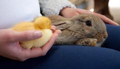 Pennywell Farm, Devon 10 (chris-parker) Tags: cute rabbit bunny bunnies bird chicken animal duck sweet farm duckling chick devon rabbits pennywell