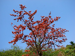 Palash In Bloom : Spring In Bengal ,India. (biswarupsarkar72) Tags: spring bengal palash