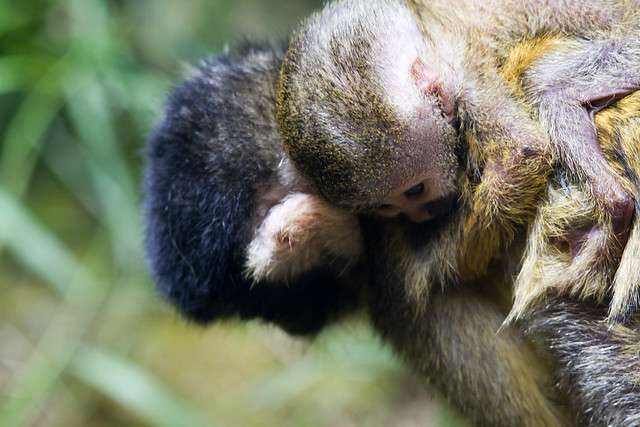 Squirrel Monkey and Baby