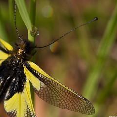 Ennagones (Le No) Tags: 09 neuroptera arige midipyrnes mazres ascalaphidae libelloidescoccajus collectionnerlevivantautrement ascalaphesoufr domainedesoiseaux