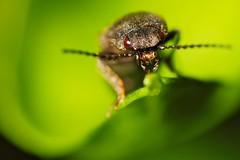 Käfer   Beetle (Sebastian.Schneider) Tags: detail macro nature closeup insect details natur beetle makro supermacro insekt nahaufnahme käfer supermakro reversering umkehrring retroring