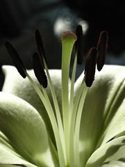 tadaaaaaa (The Dolly Mama) Tags: flower macro day lily mothers bouquet tadaaa