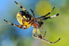 Araigne  peire,tissage (jd.echenard) Tags: nature spider spinne animaux araigne toile tissage epeire