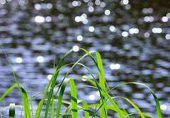 Water glitter (tanakawho) Tags: light plant green nature water grass sunshine glitter leaf pond dof bokeh tanakawho
