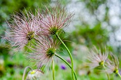 3hairythings (Wonkylens) Tags: hairy flower bokeh backsippa