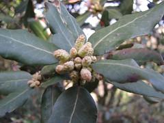 Quercus ilex L.       Crussol, NGIDn1381494736 (naturgucker.de) Tags: quercusilex steineiche naturguckerde 180205378 1592860056 cjeanmarcringenbach 1920571988 ngidn1381494736