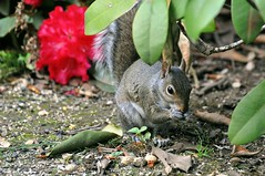 Nibbles amid the rhododendron III (liquidnight) Tags: flowers red food cute animals oregon portland grey spring backyard nikon squirrel bokeh eating wildlife blossoms nuts vivid rhododendron snack urbanwildlife pdx laurelhurst hungry sciuruscarolinensis d90 easterngreysquirrel