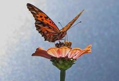 borboleta em fundo azul (Jakza) Tags: borboleta zinia capitão fundoazul nanaturezainnature frenteafrente tufototureto duetos bokeh challenge factorywinner desafio15 challengegamewinner