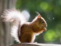 A Very Sunny Snack (TomiTapio) Tags: cemetery fur helsinki squirrel glow bokeh eating iso400 tail fluffy ears orava tame écureuil hietaniemi sciurusvulgaris sqrl directsunlight eurasianredsquirrel kurre canonef70210mmf4