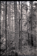 sick tree (Beaulawrence) Tags: park white canada black tree slr film monochrome vancouver analog forest 35mm canon lens reflex spring bc angle 28mm grain wide may columbia hike scan negative warts single 400 april british pan a1 135 vistas bumps sick ilford apr 2012 diaz