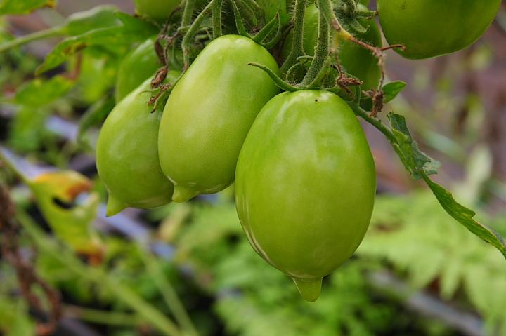 金勇蕃茄休閒農場(荷蘭檸檬蕃茄)021