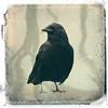 Portrait of a Crow (SOMETHiNG MONUMENTAL) Tags: old portrait blackandwhite art texture birds photoshop vintage dark worn brushes crow somethingmonumental mandycrandell