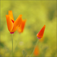 V for Victory (Zino2009 (bob van den berg)) Tags: orange flower holland color last garden 50mm football championship sommer nederland sunny victory enjoy poppy change ek tuin blume garten survival californianpoppy deventer oranje sieg overwinning teamplay zege bobvandenberg ulebelt teamcolor zino2009 footballeuropahollandoranje
