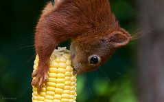 Red Squirrel (p.vogel.troll) Tags: squirrel gartengarden nagetiererodentiarodents eichhrnchensciurusvulgarisredsquirrel bsleiferde areabraunschweig areagermany areaniedersachsenlowersaxony hrnchensciuridaesquirrel ardillarojacureuilrouxscoiattolorodeeekhoornwiewirkapospolitaekorre