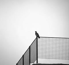Pigeon (Maríon) Tags: street travel bw white black turkey nikon istanbul marion reise tyrkia supermarion nesje d7000 marionnesje