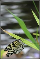 *heavenly wings with water* (^i^heavensdarkangel2) Tags: water canon butterfly wings colorado denver butterflypavilion colorfulcolorado heavenlywings desbahallison heavensdarkangel2 paperbutterflyfly waterandwings