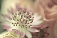 Lorenza's Roses (lollipoplollipop@home) Tags: