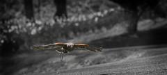 Mighty Wings (Explored, Thank You!) (John Penberthy LRPS) Tags: bird nikon hawk 300mm explore falconry harrishawk parabuteounicinctus d90 explored johnpenberthy
