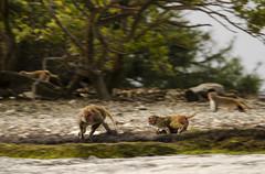 Run (yarnzombie) Tags: santiago puerto island monkey nikon kayak zoom rico telephoto barefoot punta april travelers 2014 d5100