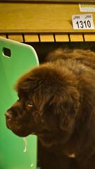 Newfoundland Dog 001DSC06897 (Rhiannon Hodge) Tags: show dog dogs newfoundland fur furry puppies friend working hound royal best mans welsh doggie showgroung