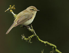Chiffchaff,Messingham Sand Quarries LWTR. (Juncea) Tags: sand quarries chiffchaff messingham lwtr