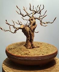 Oak like Beech (bobbylane759) Tags: beech fagus europeanbeechbonsaitree
