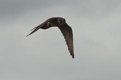 IMG_4434 (gipukan (rob gipman)) Tags: male tower female eos toren 7d kuikens slechtvalk olv langejan preybird canon24105lis tokina116