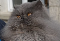 Tichat 14 ans aujourd'hui ! (TICHAT10) Tags: chat animaux tichat