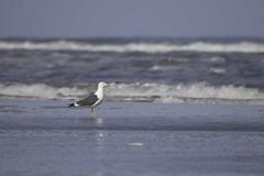 Kleine Mantelmeeuw (judithvanagthoven) Tags: nature birds terschelling strand canon nederland vogels natuur april dieren meeuwen kleine mantelmeeuw sigma150500mm 7dmarkii