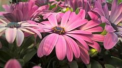 Purple flower (Mado AwaD) Tags: plant flower nature purple outdoor