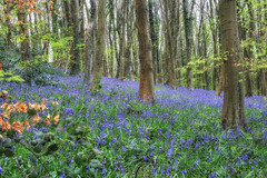 Bluebell Wood (Martyn.Smith.) Tags: uk flowers trees tree bluebells southwales wales forest canon woodland eos photo spring flickr image forestry may wildflowers canopy forestfloor springflowers springtime 2016 crickhowell sigmalens nikcolorefex 700d coedcefnbluebells