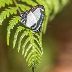 Small Green-banded Blue (gecko47) Tags: male butterfly insect lagoon brisbane lepidoptera smallgreenbandedblue karawathaforest psychonotiscaelius melaleucaswamp