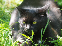 wiosna Frhling spring in unsern Garten (arjuna_zbycho) Tags: pet cats pets cute animal animals cat blackcat spring kitten feline chat kitty kittens tuxedo gato tuxedocat gatto katzen haustier kater tier frhling wiosna badenbeiwien gattini hauskatze kocio unseregarten