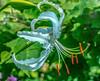 ***Lily Profile (12bluros) Tags: white flower flora floral closeup macrophotography nature orientallily casablanca liliumcasablanca lilium starshaped redanthers fragrant stigma style stamens filament tepal canonef100mmf28lmacroisusm