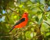 Fort De Soto Park male Scarlet Tanager 05-05-2016 (Jerry's Wild Life) Tags: scarlet scarlettanager fortdesoto songbird tanager songbirds ftdesoto fortdesotopark ftdesotopark