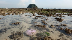 Mass coral bleaching at Pulau Jong, 10 Jun 2016 (wildsingapore) Tags: nature marine singapore underwater wildlife coastal threats intertidal seashore pulau bleaching jong marinelife cnidaria wildsingapore scleractinia