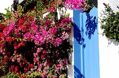 Buganvillas (camus agp) Tags: espaa flores azul fachada canoneos puertas bougainvilleas sanpedroalcantara buganvillas