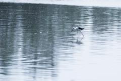 Echasse blanche (claude.guigon.photo) Tags: nature animal pentax oiseau camargue chasse vigueirat maraisduvigueirat