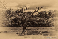 The Dying Tree 138/366 (crezzy1976) Tags: old uk trees england blackandwhite tree landscape countryside nikon cheshire outdoor photoaday 365 day138 ellesmereport d3100 crezzy1976 photographybyneilcresswell 366challenge2016