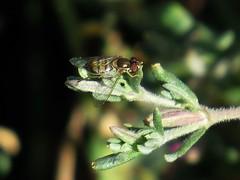 Syrphid flower fly, Toxomerus marginatus (stonebird) Tags: may stonebird flowerfly syrphidfly toxomerusmarginatus areab ballonawetlandsecologicalreserve alkaliseaheath img27931