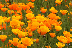Goldmohn (gripspix (OFF)) Tags: 20160605 nature natur plant pflanze blte blossom californianpoppy escholziacalifornica goldmohn