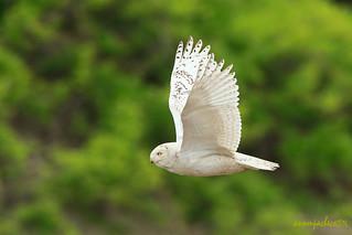 Snowy Owl in Spring